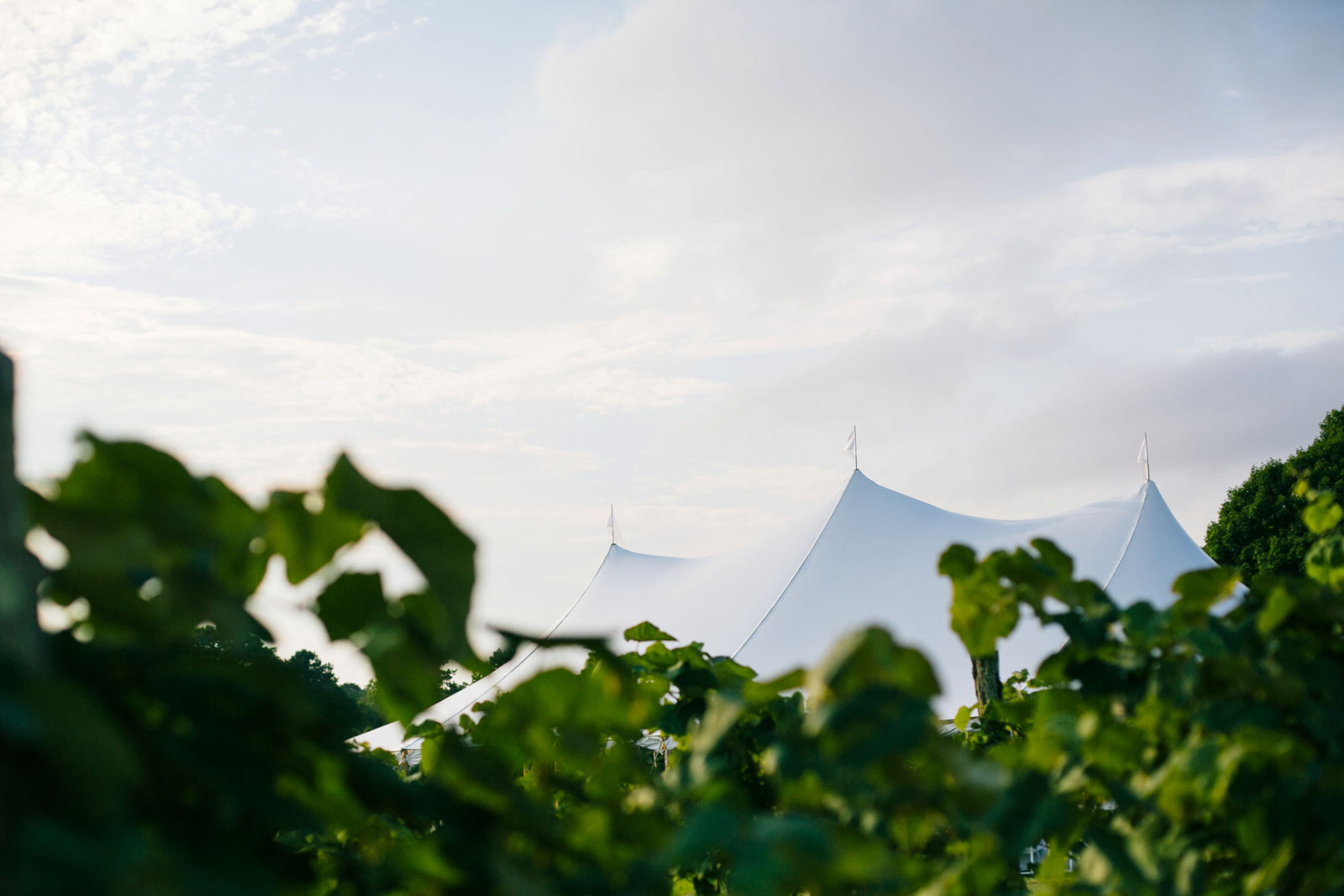 Looking over grape vines at top of white tent where wedding reception is, summer wedding Bourne Farm